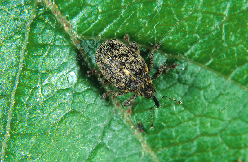 Apple Blossom Weevil