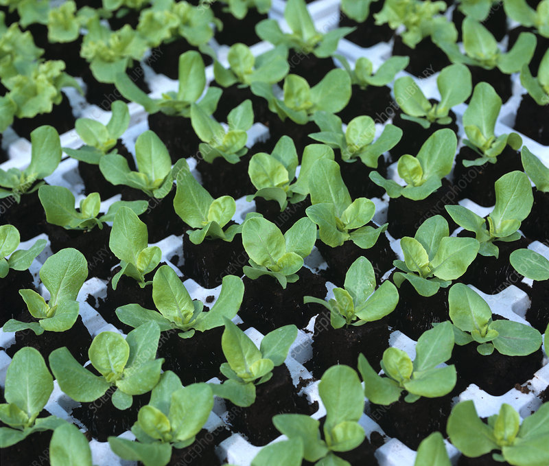 Seedling hydroponic lettuces