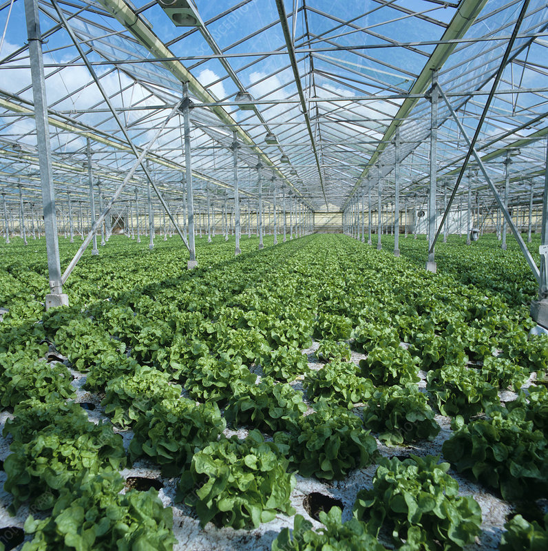 Lettuces growing in hydroponic glasshouse