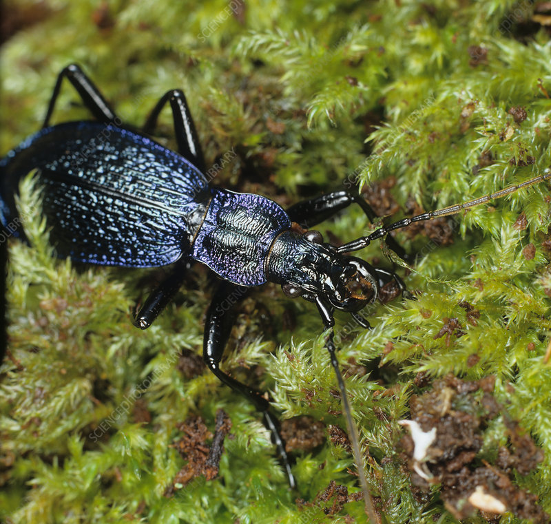 Ground beetle (Carabus intricatus)