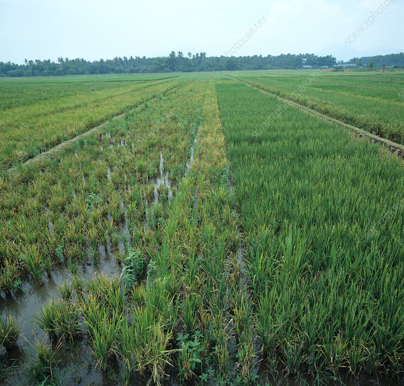 Tungro virus in rice crop