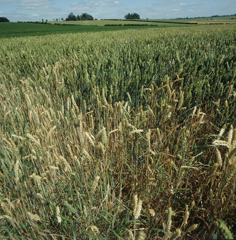 Wheat crop infected with Take-all