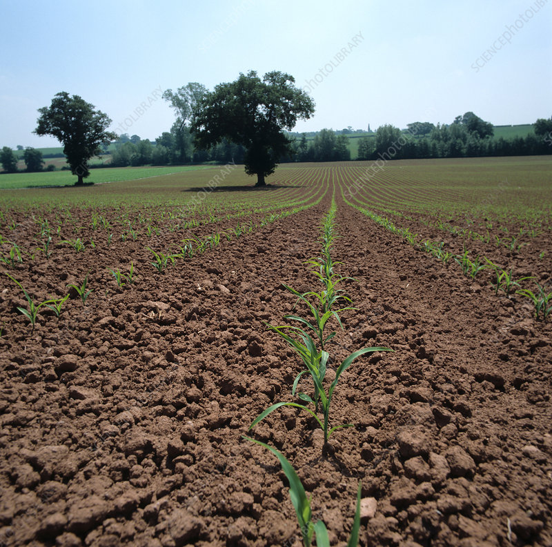 'Young seedling maize crop, UK'