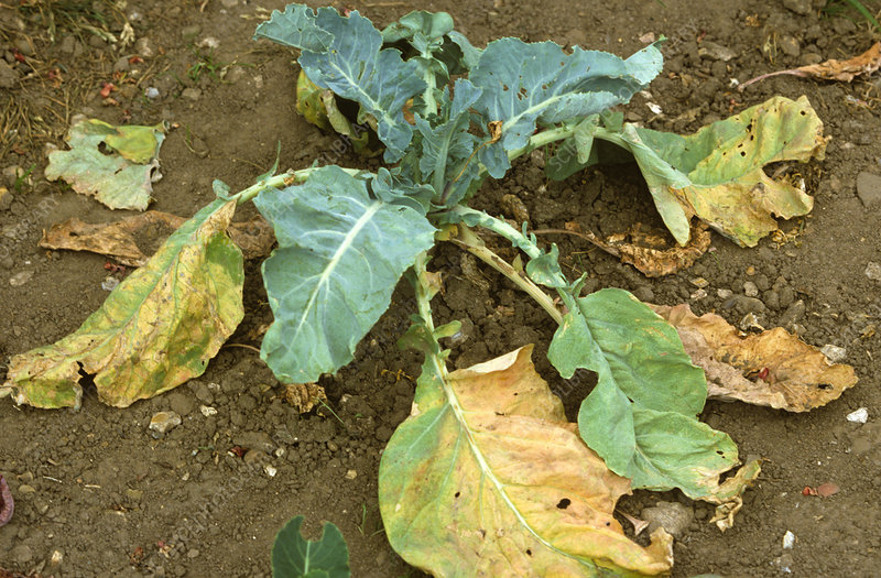 Cabbage Root Fly damage to Cabbage