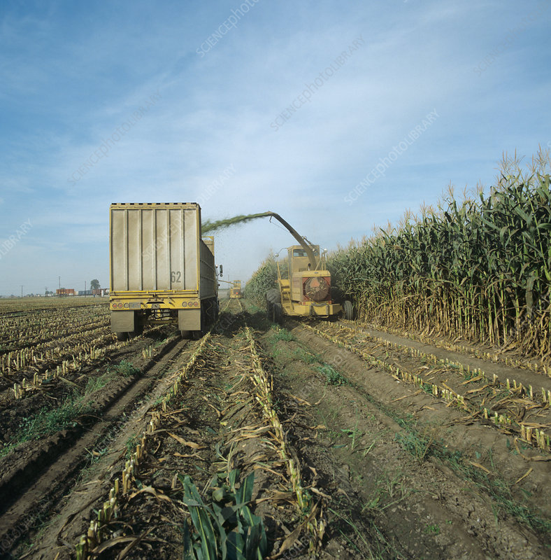 Forage harvesting tall maize crop