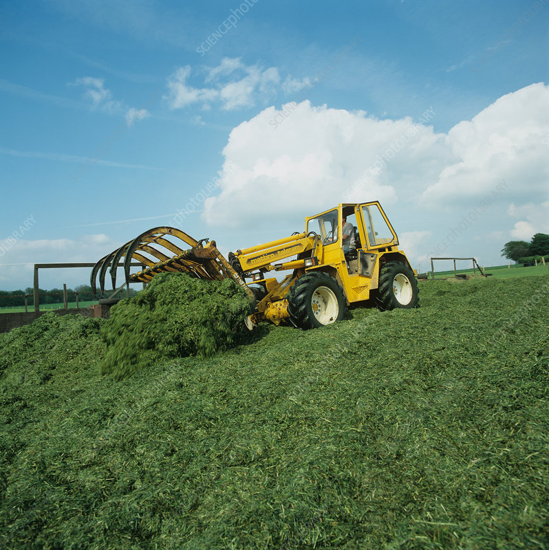 Forklift compacting silage