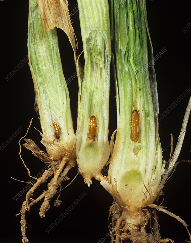 Gout fly pupae in damaged wheat stem