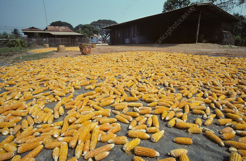 'Corn cobs drying, Thailand'