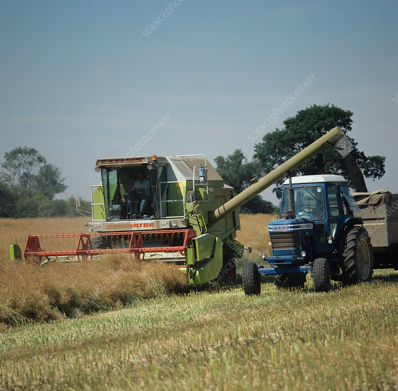 Combine harvesting oilseed rape