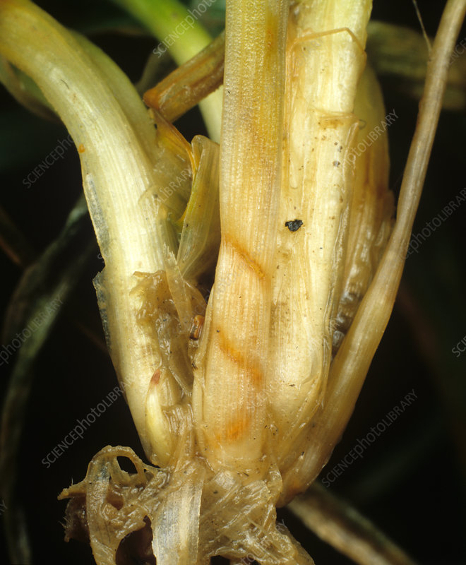 Cereal Fly damage to Wheat 'bulb'