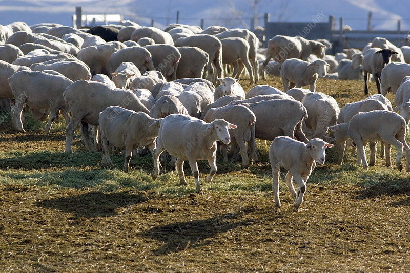 Sheep eating alfalfa