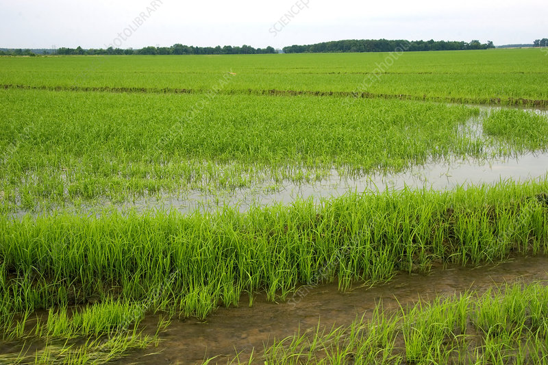 Rice Field in Arkansas