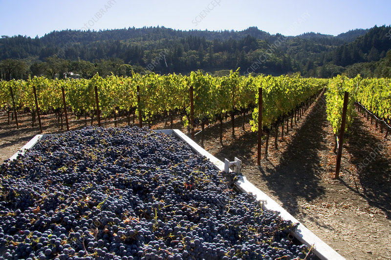 'Harvested Wine Grapes, Napa Valley'