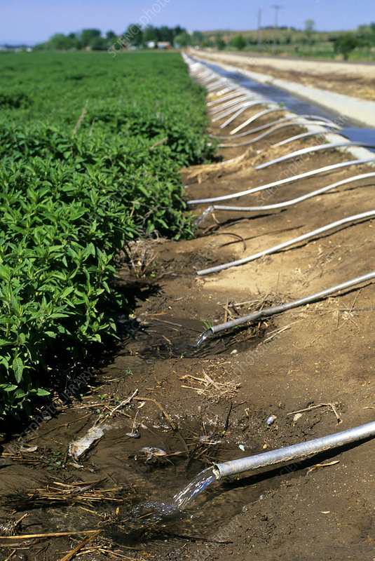 Furrow irrigation of a mint field