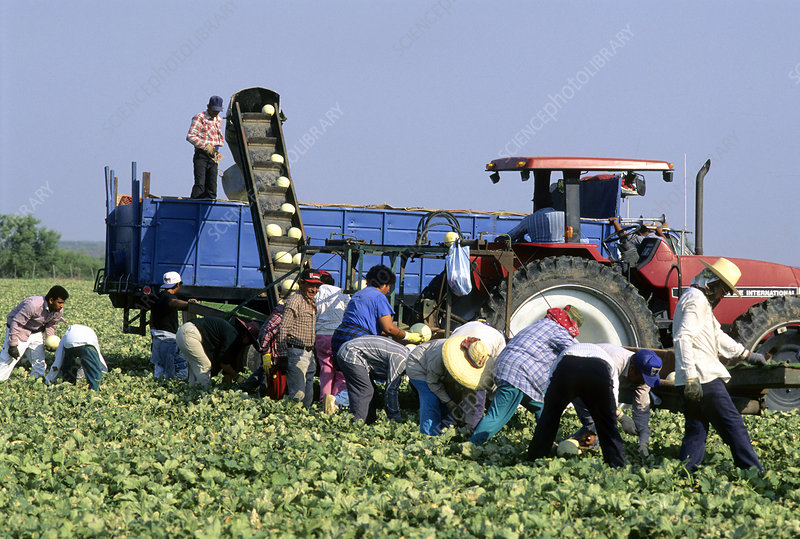 Farm workers harvesting honeydew melons