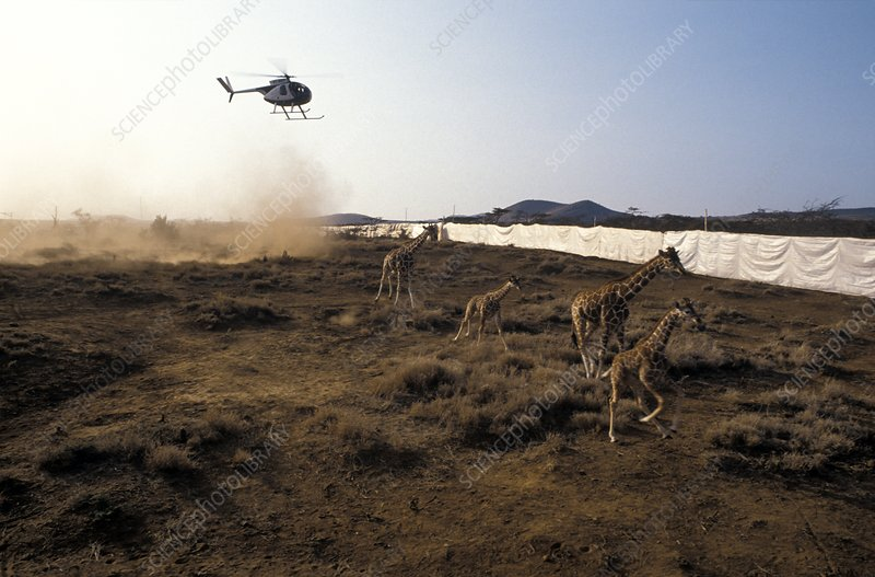 Giraffes being translocated