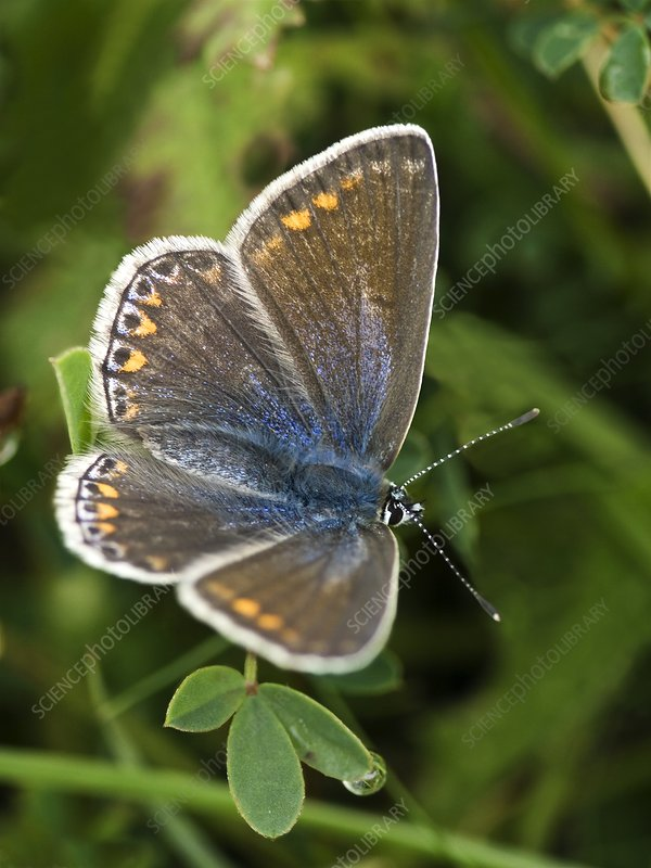 Blue butterfly (Polyommatus icarus)