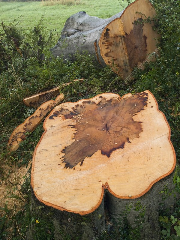 A felled beech tree (Fagus sylvatica)