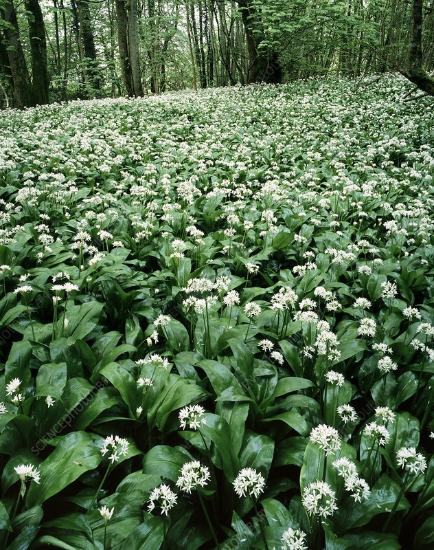 Wild garlic (Allium ursinum) in a wood