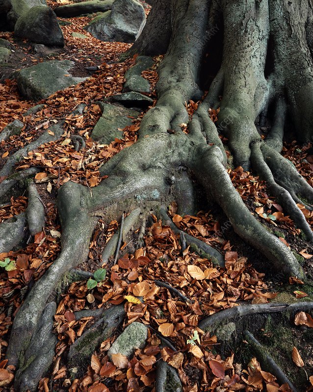 Tree roots of a beech tree