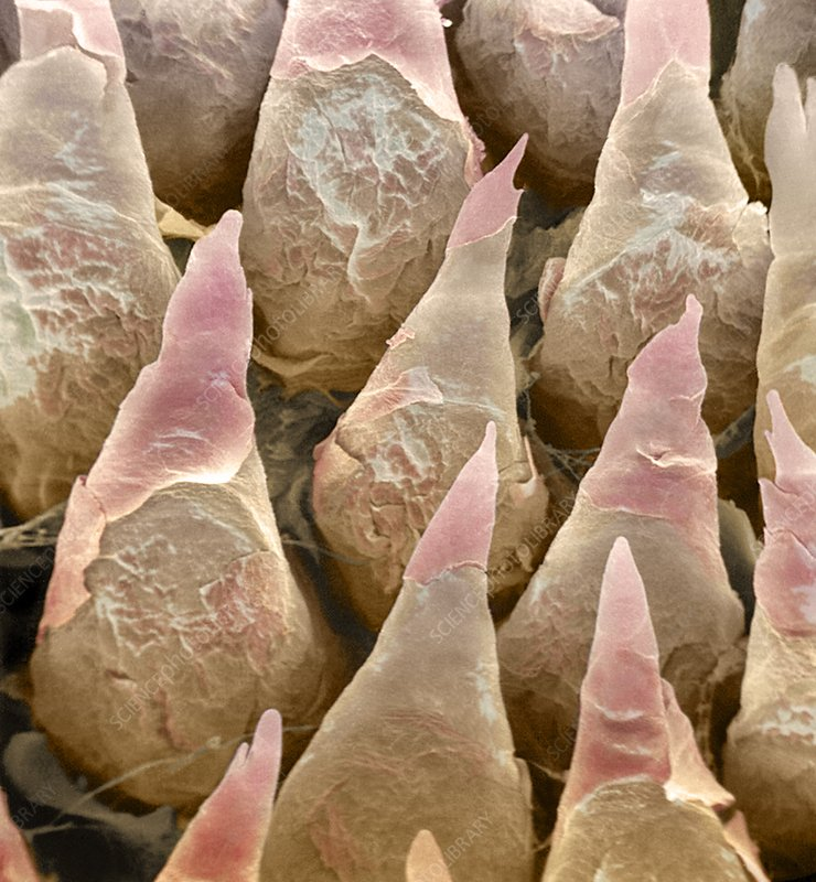 Tongue surface, SEM