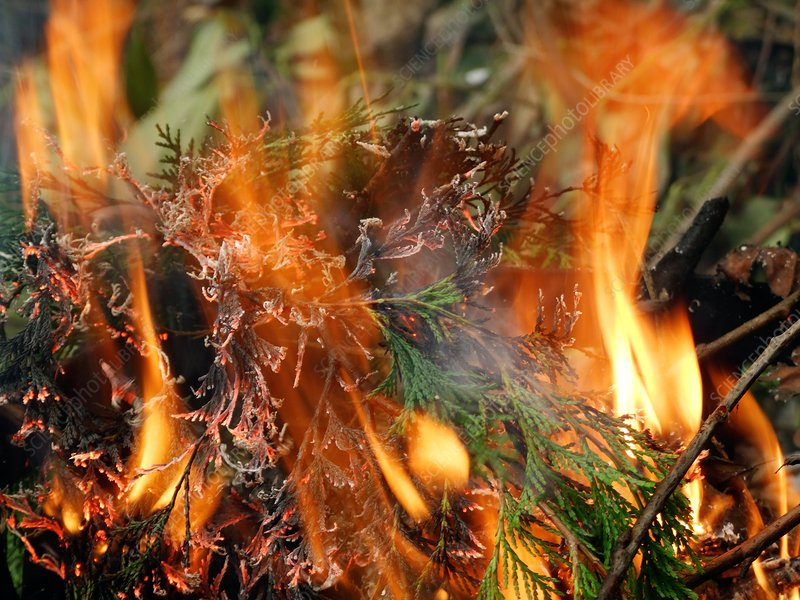 Burning conifer twigs