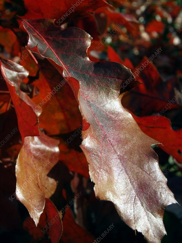 Quercus rubras (American Red Oak Leaf)