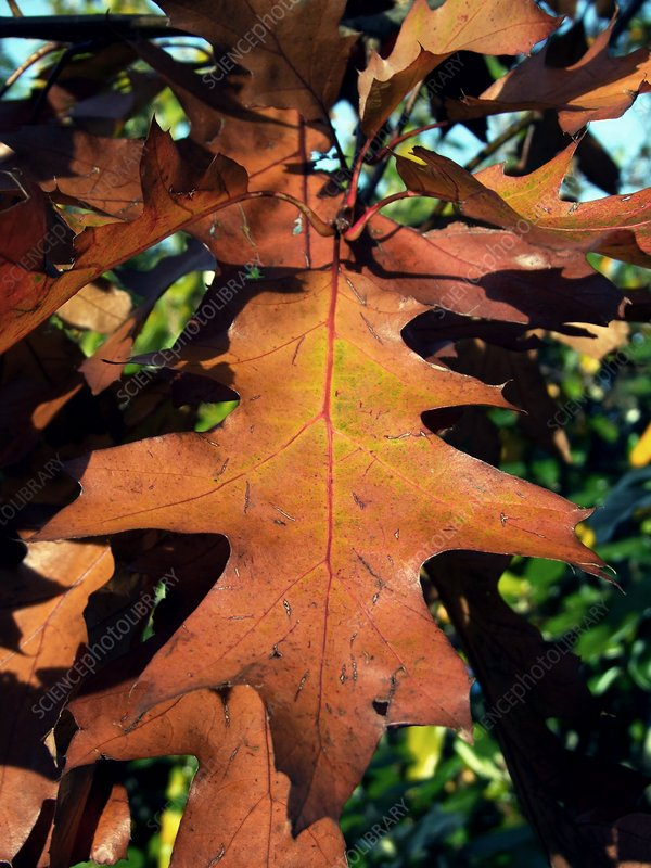 American Red Oak Leaf (Quercus rubras)