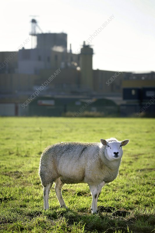 Sheep next to an industrial plant