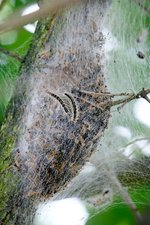 Oak processionary caterpillar nest