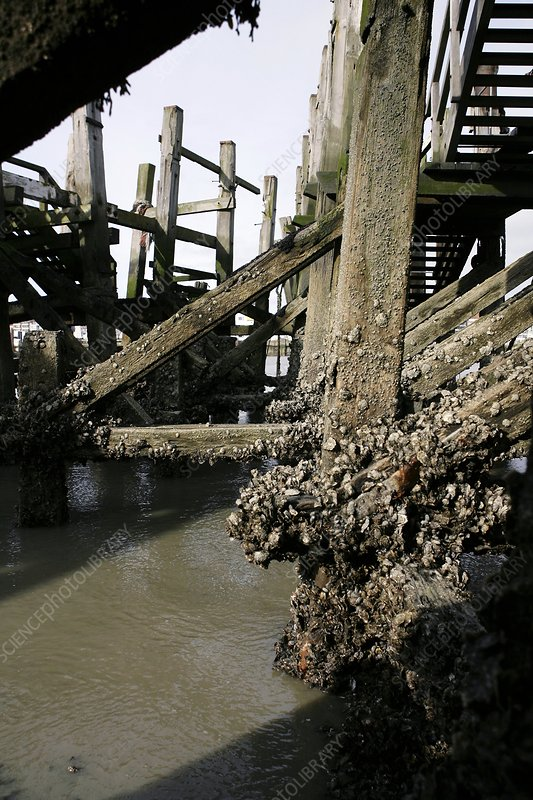 Oysters exposed at low tide