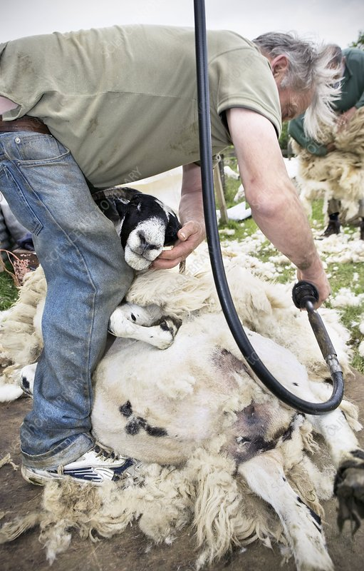 Shepherd shearing sheep