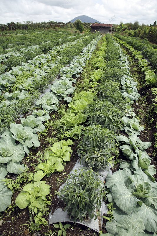 Cabbage and chilies cultivated in field