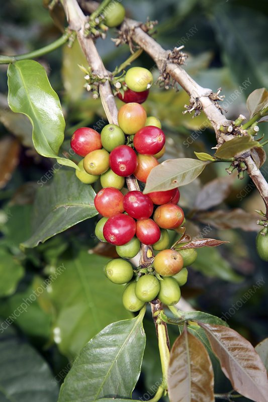 Coffee plant with fruit