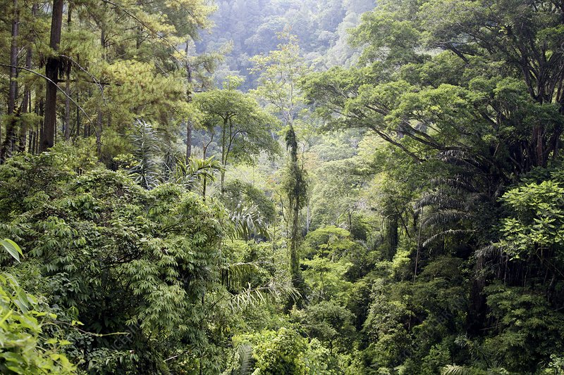 Dense trees in jungle