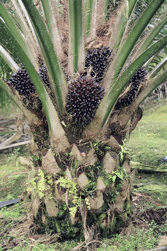 Oil palm tree with fruits