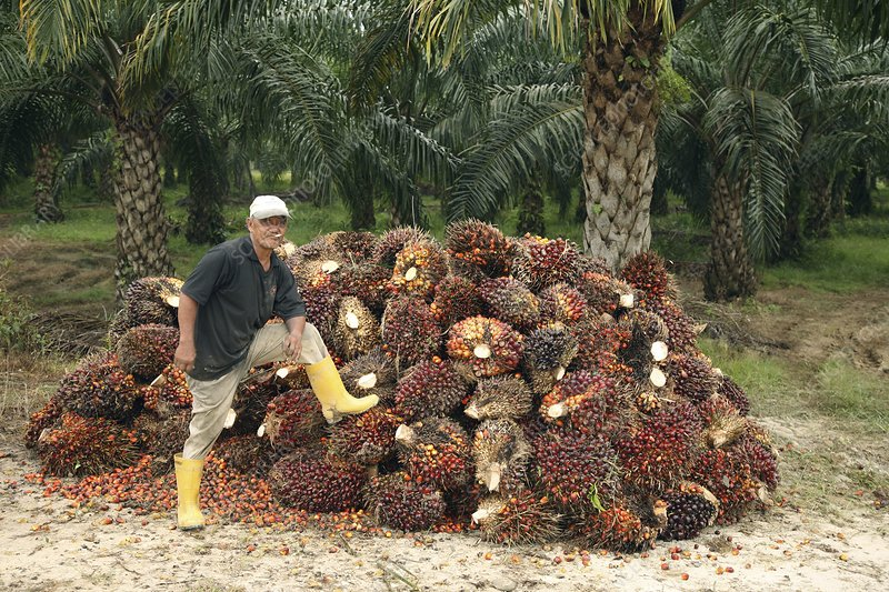 Mature man posing by oil palm fruits