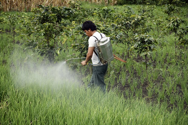 Farmers spraying pesticide on rice paddy