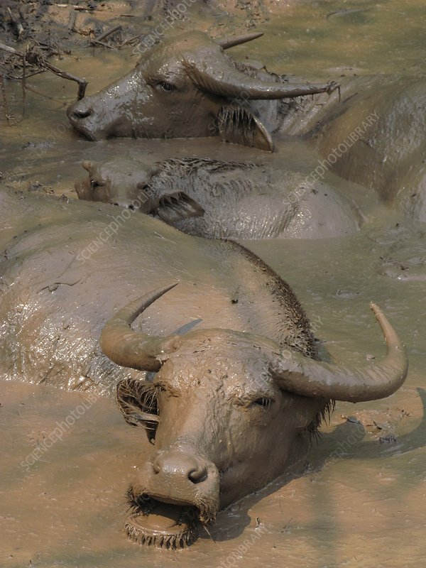 Water buffaloes wallowing in pond