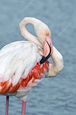 Greater flamingo preening