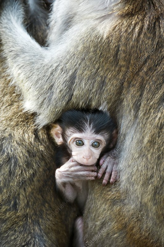 Long-tailed macaque baby