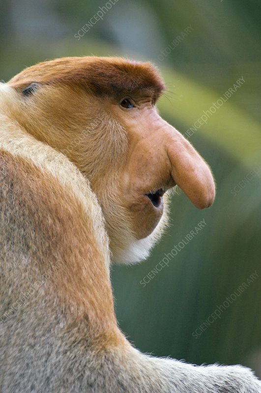 Dominant male proboscis monkey