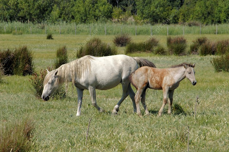 Camargue horse and foal