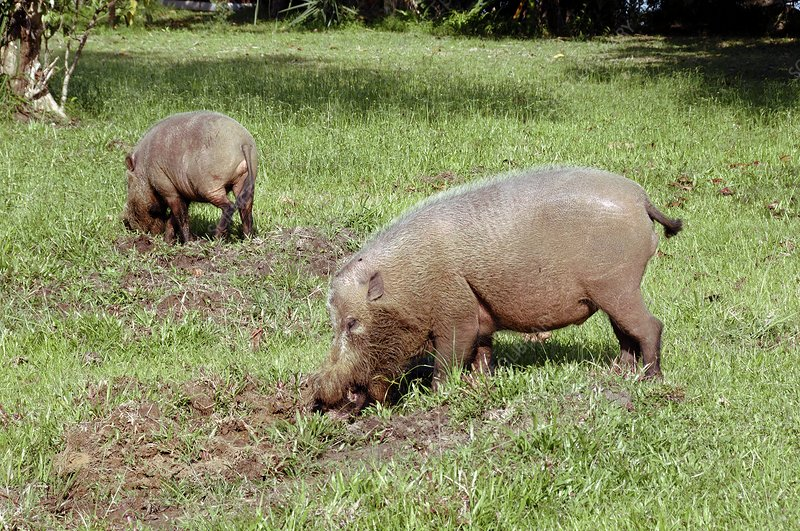 Bearded pigs foraging