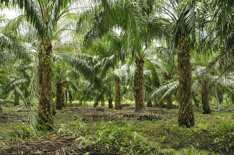 Oil palm plantation, Borneo