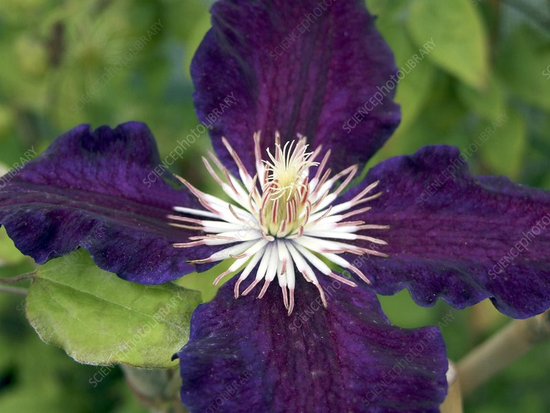 Clematis Black Tea