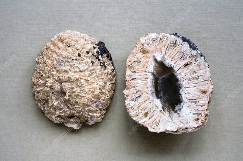 Fossil pinecones