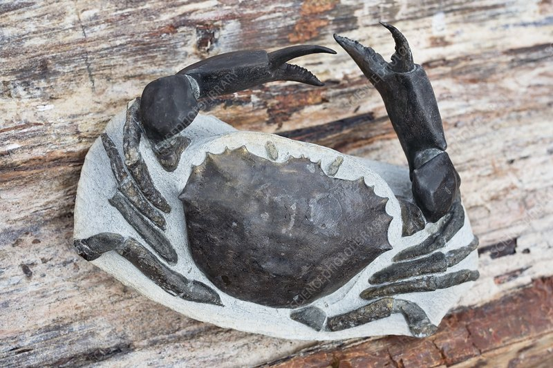 Chaceon fossil crab