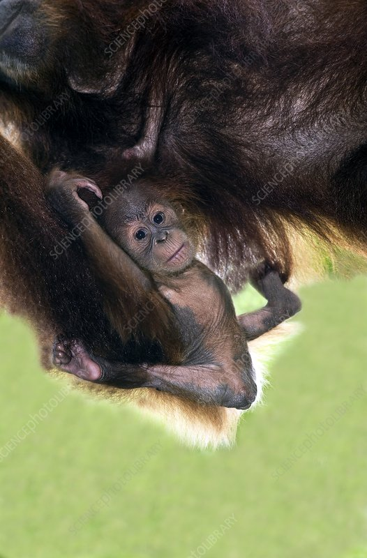 Sumatran orang-utang mother and baby