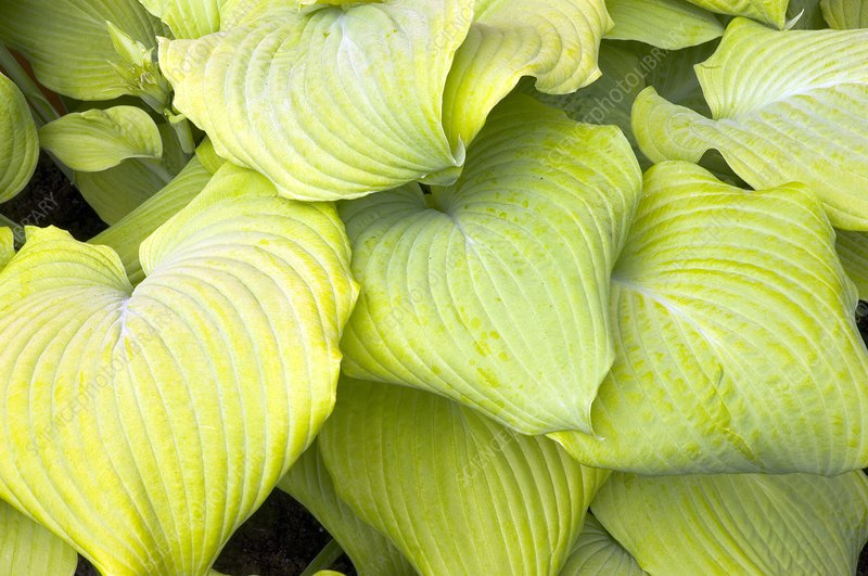 Hosta 'Piedmont Gold'